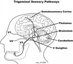 Figure 2  The main pathways of dental mechanosensory information to the somatosensory cortex.