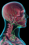 Figure 1. The lymph supply of the head, neck, and face.