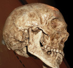Fig 2. Modern human skull. Photo taken at the American Museum of Natural History, New York City, NY.